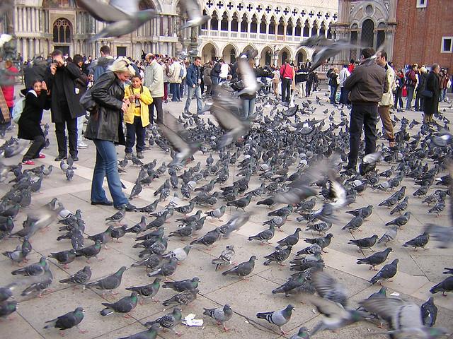 Venice - pigeons - the Historian